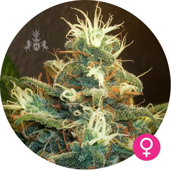 ak-47 cannabis zaden