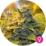 black domina cannabis zaden