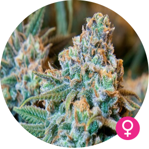 girl scout cookies feminized seed