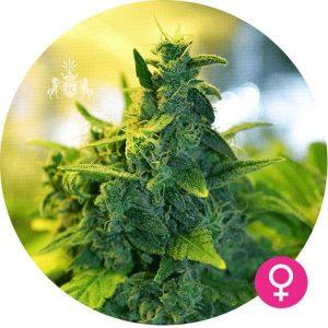kali mist cannabis zaden