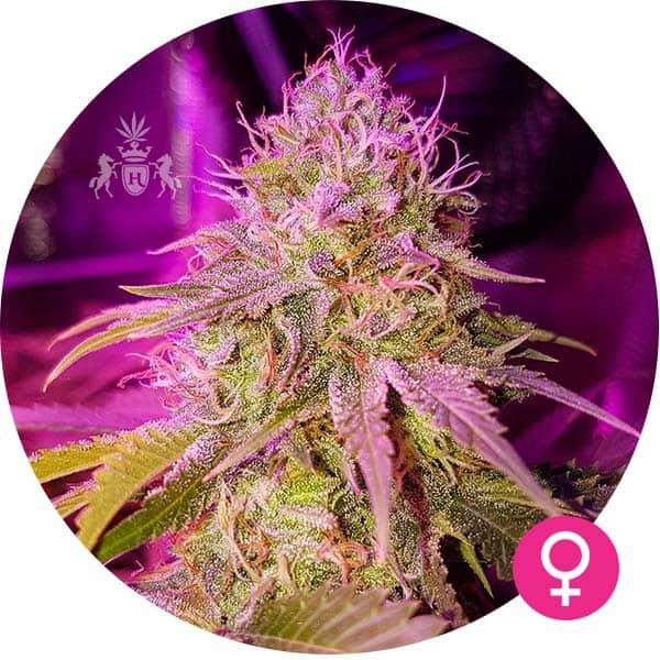 og kush cannabis zaden
