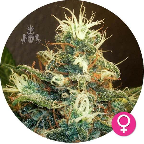 hempire-cannabis-zaden-AK47