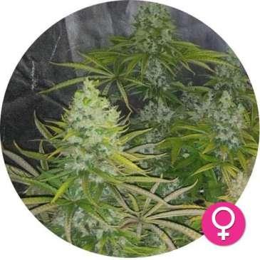 hempire-cannabis-zaden-Amnesia-Lemon