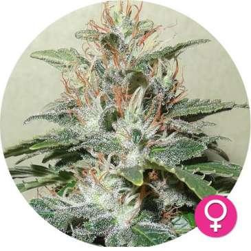 hempire-cannabis-zaden-Amnesia_Haze-2