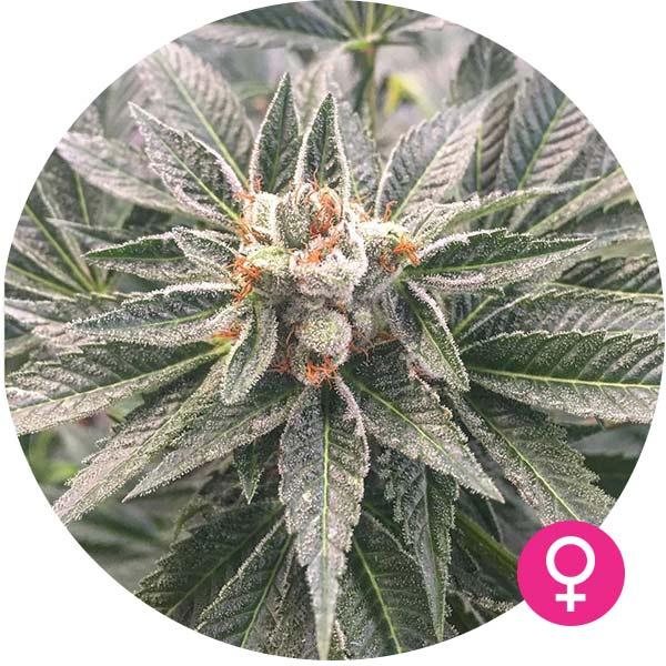 bubblegum cannabis zaden