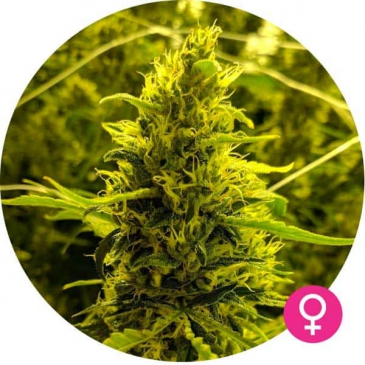critical cannabis zaden