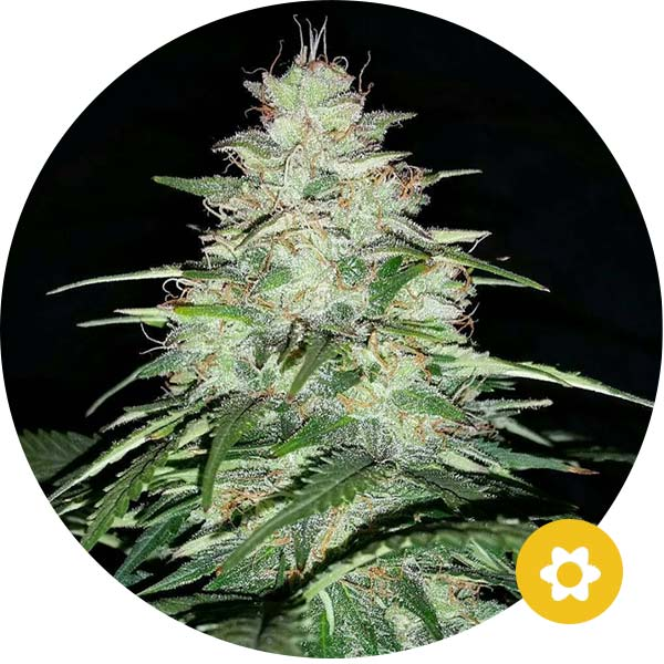 critical autoflower cannabis zaden