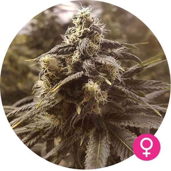 northern lights cannabis zaden