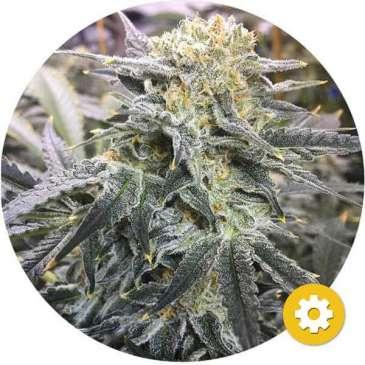 hempire-cannabis-zaden-AK47-autoflower