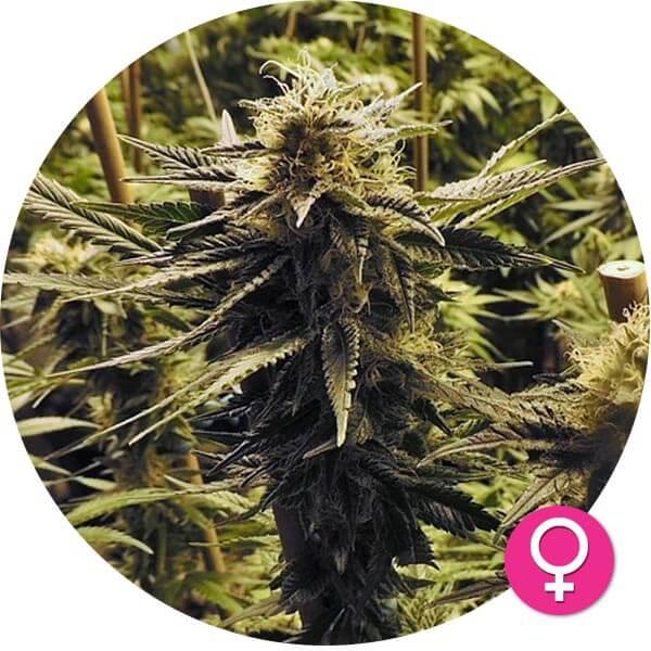 hempire-cannabis-zaden-Amnesia_Whitewidow_fem_v2-1